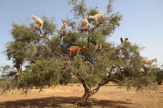 Козы на деревьях в Марокко. Arnaud 25/commons.wikimedia.org/CC BY-SA 3.0   Epoch Times Россия