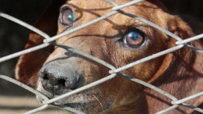 (Фото) Хозяин приковал собаку цепью к металлической решётке и забыл о ней. Спасатели увидели живой скелет