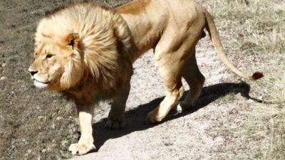 Горожане увидели льва, без присмотра гуляющего по парку. В ужасе они бросились звонить в полицию