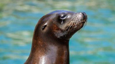 Учёные занимаются созданием тюленей-биороботов