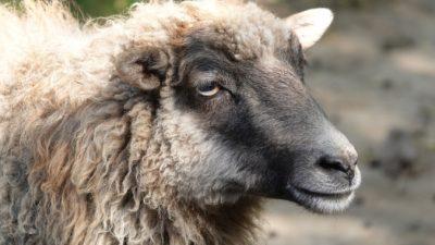 Анекдот про овцу времён династии Цин. Смешно будет и через столетия!
