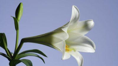 Белая лилия ― геральдический символ и лекарственное растение