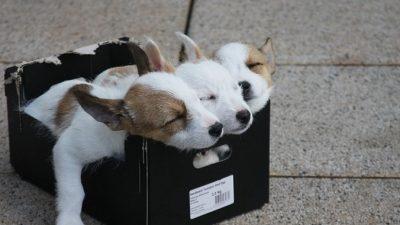 Волонтёры нашли брошенных щенков питбуля и подумали, не отдать ли их ощенившейся корги?