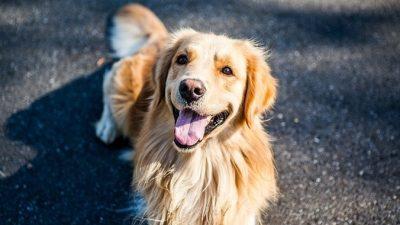 Пёс так любит таскать теннисные мячи, что попал в книгу рекордов Гиннесса!