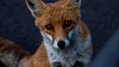 (Видео) Любопытная лиса засунула голову в старое колесо. В таком виде её и застал хозяин сада, где она гуляла