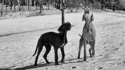 15 немецких догов чуть не умерли от голода на заброшенной ферме. Но собакам повезло — за ними присмотрел сам король Таиланда