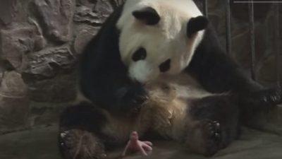 (Видео) Гигантская панда родила 2-х детёнышей. Они такие крохотные, посмотрите!