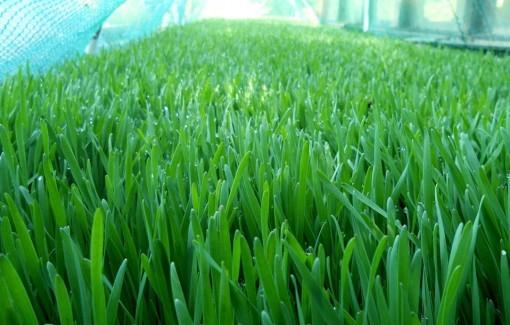 Пророщенная пшеница. Фото: Richard James Clapham/wikipedia.org/CC BY-SA 4.0 | Epoch Times Россия