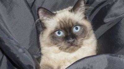 Сиамскую кошку с запиской бросили на улице. Послание быстро развеяло гнев сотрудников приюта на бывших хозяев