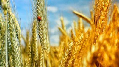 Как ГМО загрязняет наш организм