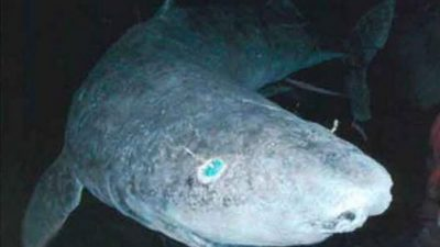 512-летнюю акулу поймали зоологи. Она бессмертная?!