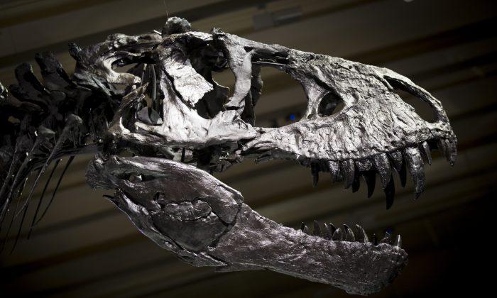 Скелет Тристана Тираннозавра Рекса для СМИ в Museum fuer Naturkunde (Музей естественной истории) 16 декабря 2015 года в Берлине, Германия. (Аксель Шмидт / Getty Images)   Epoch Times Россия