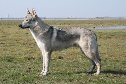 Чехословацкая волчья собака. Фото: Rolf Larsen/wikipedia.org/CC BY-SA 3.0   Epoch Times Россия