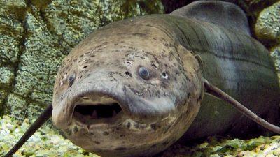 Африканская двоякодышащая рыба может оставаться без воды и еды много лет