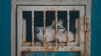 (Видео) Хозяин два года морил собаку голодом в отместку бывшей жене. Но «мешок с костями» спасли!