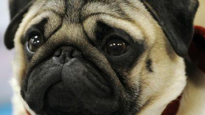 Мопсы и бульдоги в самолётах умирают чаще других собак