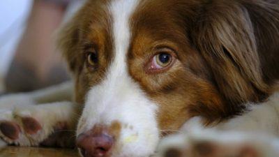 Собака вбежала в комнату хозяина с лаем и бросилась под кровать. Она предупреждала об опасности!
