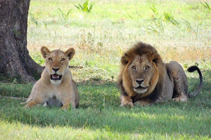 Львы на природе. Фото: pixabay.com/CC0 Public Domain   Epoch Times Россия
