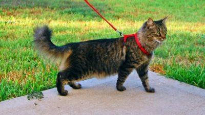 (Видео) Овчарка никогда не видела кота на поводке. Смешанные чувства собаки более чем забавны!
