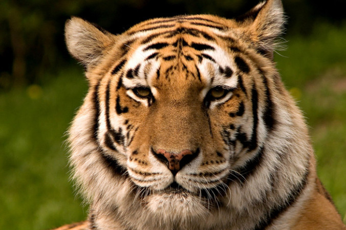 Амурский тигр. Фото: Fir0002/wikipedia.org/CC BY-SA 2.5 | Epoch Times Россия