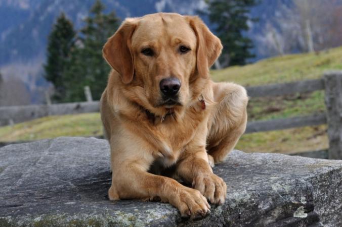 Семья отдала ретривера друзьям на время, но пёс соскучился и отправился на поиски своего дома. Он не подозревал, что найти хозяина будет так сложно! | Epoch Times Россия