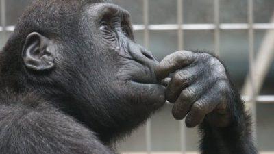 В китайском зоопарке обезьяна взялась за метлу и стала подметать свою клетку!