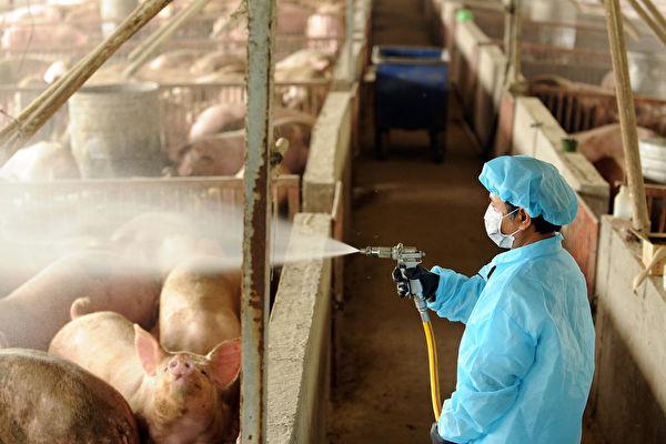 Сотрудник государственного департамента по борьбе с болезнями животных проводит дезинфекцию свинофермы в качестве меры предосторожности, уезд Чжанхуа, Тайвань, 27 апреля 2009 года. SAM YEH/AFP via Getty Images   Epoch Times Россия