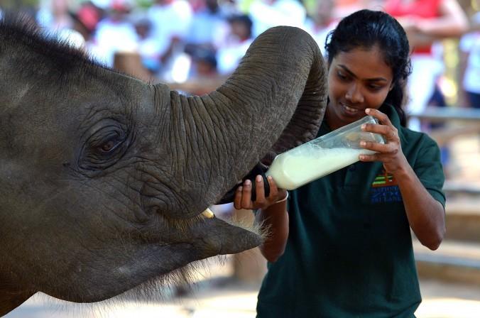 Женщина кормит цейлонского слонёнка молоком в заповеднике в Коломбо, Шри-Ланка, 18 января 2015 г. Популяция цейлонского слона за три поколения сократилась на 50%. Фото: Ishara S.KODIKARA/AFP/Getty Images   Epoch Times Россия