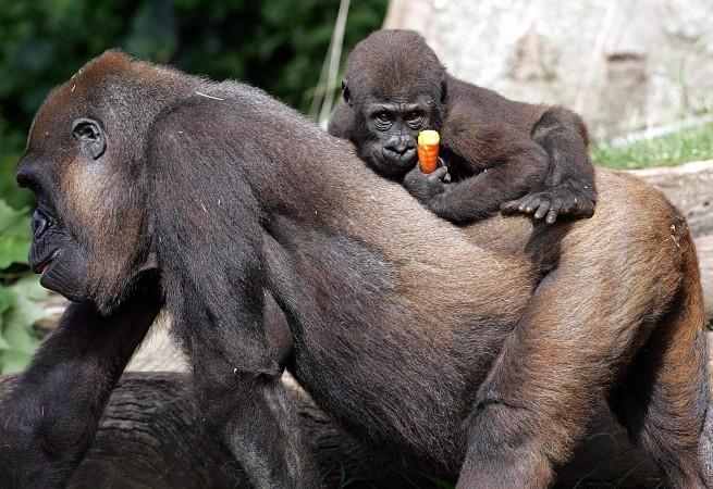 Муила, самка западной равнинной гориллы, несёт на спине своего детёныша Мбели в зоопарке Таронга в Сиднее 13 января 2005 г. Фото: TORSTEN BLACKWOOD/AFP/Getty Images | Epoch Times Россия