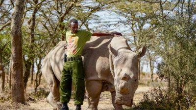 Последнему самцу северного белого носорога дали круглосуточную охрану