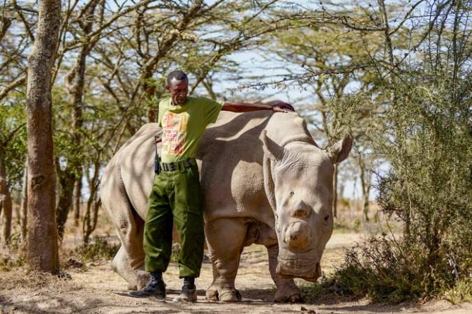 22 апреля. Лесник по имени Мохаммед стоит рядом с самкой северного белого носорога по имени Наджин в заповеднике Ol Pejeta Conservancy, около 290 км к северу от столицы Кении, Найроби. Наджин -  это только один из пяти подвидов носорогов на планете, три из которых находятся в заповедник Ol Pejeta Conservancy. Защитники природы и ученые разрабатывают план спасения северных белых носорогов от вымирания. Фото: Tony Karumba/AFP/Getty Images   Epoch Times Россия
