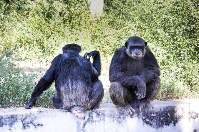Шимпанзе в Arignar Anna Zoological Park в Ченнае, Индия. Семейный разговор. Фото: Татьяна Виноградова/Великая Эпоха   Epoch Times Россия
