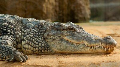 В Бангладеш столетний крокодил скончался от переедания