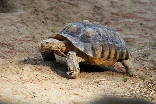 Черепаха. Фото: pexels.com/ru-ru/@ewei2805 | Epoch Times Россия