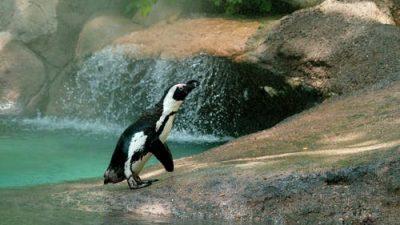 Влюблённые пингвины покорили Твиттер. Романтика в каждом движении!