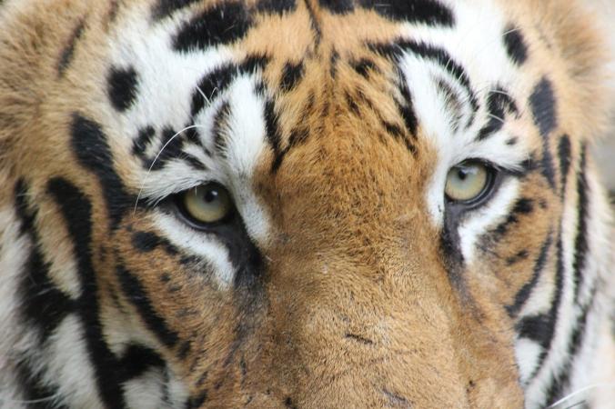 Как в Индии спасали застрявшего в заборе тигра