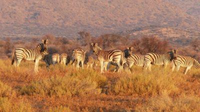 В Зимбабве собака выходила раненую зебру