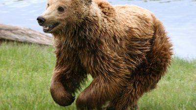 (Видео) Медведь выловил из пруда тонущую ворону. Но не для того, чтобы съесть!