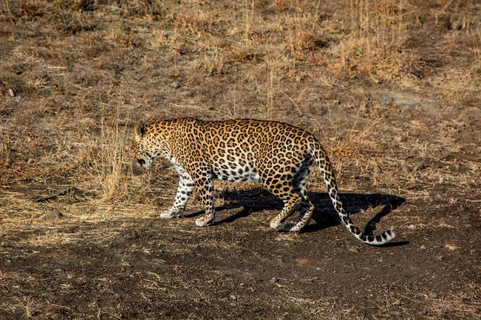 В индийском штате Джамму и Кашмир поймали терроризировавшего окрестности леопарда