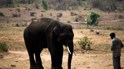 Второй случай убийства погонщика слоном произошёл в Таиланде за неделю