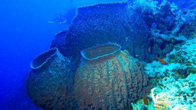 Морская губка — древнейшее из животных