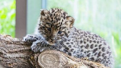 Редкое явление: львица усыновила детёныша леопарда. И заботилась о нём, как о своём собственном