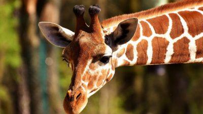 В ЮАР при перевозке погиб жираф
