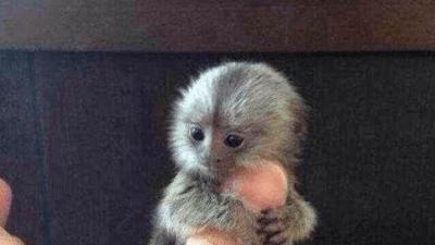 Запрещённые питомцы: китайские богачи покупают карликовых обезьян