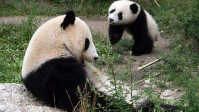 В Китае детёнышей панды в неволе лишают материнского молока. Чем это грозит?