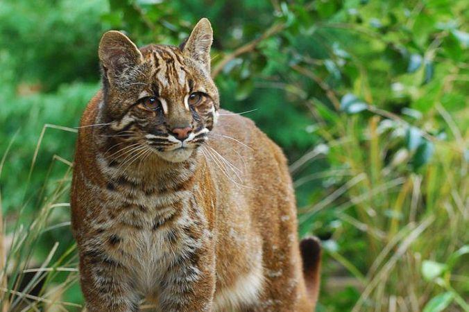 Азиатский золотистый кот. Фото:  Karen Stout /Wikipedia Commons /CC BY-SA 2.0   Epoch Times Россия