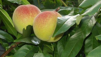 Китай — родина персика