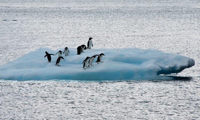 Пингвины на ледяной глыбе в Антарктиде 10 марта 2014 года. Считается, что десятки тысяч пингвинов Адели погибли после того, как гигантский айсберг лишил их возможности найти пищу. (VANDERLEI ALMEIDA/AFP/Getty Images)   Epoch Times Россия