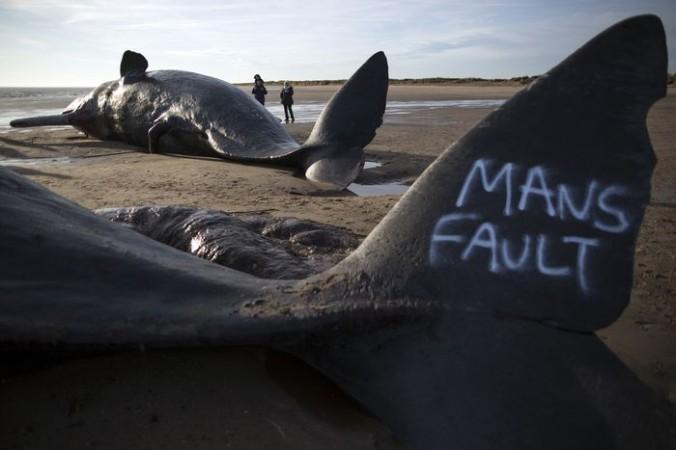 Надпись на хвосте кашалота — «Вина человека». Тела сразу трёх кашалотов прибило к пляжу возле Скегнесса, Великобритания, 25 января, 2016. Предполагают, что они из того же стада, что и кит, найденный  на пляже около Норфолка в пятницу. Фото: Dan Kitwood/Getty Images   Epoch Times Россия