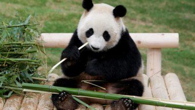В Малайзии торжественно встретили арендованных у Китая панд